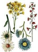 Wild Flower Botanicals